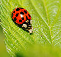 2014-05-28 17-45-55 Coccinellidae.jpg