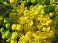 20140317Mahonia aquifolium2.jpg