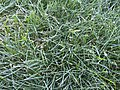 2015-10-18 08 31 05 Frost on grass along Tranquility Court in the Franklin Farm section of Oak Hill, Virginia.jpg