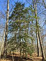 2016-03-01 12 44 58 American Holly within Fred Crabtree Park in Reston, Fairfax County, Virginia.jpg