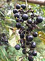 2017-09-14 18 14 29 Wild grapes ripening on the vine along Stone Heather Drive in the Franklin Farm section of Oak Hill, Fairfax County, Virginia.jpg