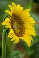 20170716-PJK-Sunflowers-0240TONED (35128727304).jpg
