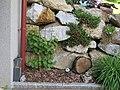 2018-05-13 (238) Vitis vinifera at (grape vine) Bichlhäusl in Frankenfels, Austria.jpg