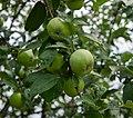 2018-07-16 Green apples on tree.jpg