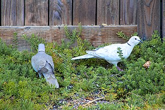 Eurasian collared dove - A pair of collared doves foraging in the Springtime. Photo taken on the Central Coast of California.