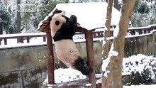 2019年1月1日 安吉竹博园 大熊猫雪地里玩耍好开心:抱树、打滚、上房顶