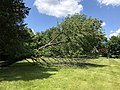 2019-05-31 12 48 28 A Cherry tree broken during a storm, with all the lower leaves having been eaten by deer, along a walking path in the Franklin Glen section of Chantilly, Fairfax County, Virginia.jpg