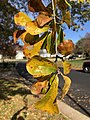 2019-11-26 11 38 37 Water Oak leaves turning yellow in late autumn along White Barn Lane in the Franklin Farm section of Oak Hill, Fairfax County, Virginia.jpg