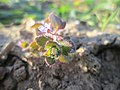 20190225Veronica hederifolia5.jpg