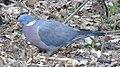 20190504 Common wood pigeon 01.jpg
