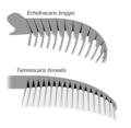 20191228 Radiodonta frontal appendage Tamisiocarididae Cetiocaridae.png