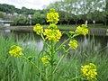 20200501Barbarea vulgaris1.jpg