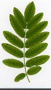 2020 year. Herbarium. Sorbus aucuparia. img-035.jpg