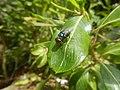 4217Foods Common houseflies Ants of the Philippines 18.jpg
