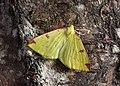70.226 BF1906 Brimstone Moth, Opisthograptis luteolata (8854036655).jpg