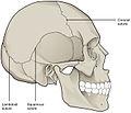 901 Skull Sutures.jpg