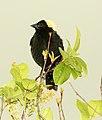 928 - BOBOLINK (6-3-2018) muniscong wildlife area, chippewa co, mi -04 (42895862972).jpg
