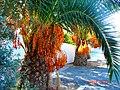 A@a palm Trees Deftera village nicosia cy. - panoramio.jpg