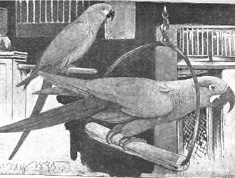Spix's macaw - Illustration of glaucous macaw (foreground) with Spix's macaw in Hamburg, 1895