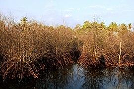 A Dead Mangrove.jpg