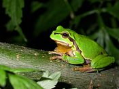 A European Tree Frog (Hyla arborea) at night, Romania (4061029990).jpg
