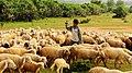 A Goat Shepherd (35939778).jpeg