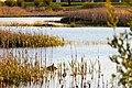 A bird in a pond in Valby mosse, Skåne.jpg