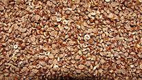 A closeup of Varagu millet with husk..JPG