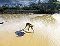 A dingo looking for fish along the main beach of Fraser Island (39567722371).jpg