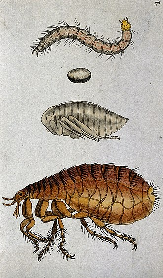 Flea - Dog flea (from top) larva, egg, pupa and adult