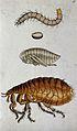 A dog flea (Ctenocephalides canis); adult, pupa, egg and lar Wellcome V0022501EL.jpg