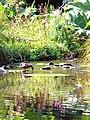 A duck in Brest (Conservatoire botanique national de Brest garden) 10-08-2020.jpg