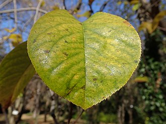 Pseudocydonia - Image: A leaf of Chaenomeles sinensis Koehne PC120027