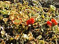 A lichen - Cladonia diversa - geograph.org.uk - 1190489.jpg