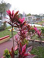 A pink plant (386625134).jpg