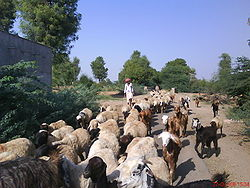 A rabari with his cattles