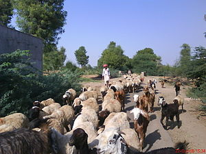 Jalore district - A Rabari with his cattle in a village of Jalore district