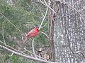 A red bird this morning, IMG 0033.JPG