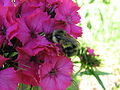 A shy bumble bee on pink flower.jpg
