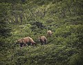 A sow and her cubs make their way down a hillside in Igloo Canyon on July 19, 2019. (9a5f5915-07c6-4c15-9d11-f8f9042fb9c7).JPG