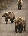 A sow and her cubs walk along the park road near the Sable Pass closure sign on Sept. 1, 2019. (32599ac7-d739-45b8-9ddb-8bc2ca6c44ac).JPG