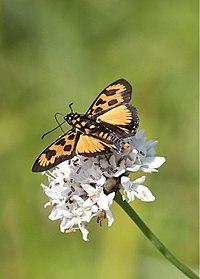 Abantis bicolor (Hesperiidae) (4804542896).jpg