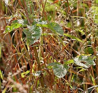 Abelmoschus ficulneus - Image: Abelmoschus ficulneus (Jungli Bhendi) leaves in Kawal, AP W IMG 2221