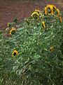 Abgewandte Sonnenblumen 2011.JPG