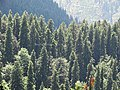 Abies pindrow India24.jpg