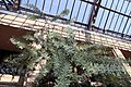 Acacia baileyana Purpurea 2zz.jpg