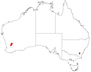 <i>Acacia merrickiae</i>