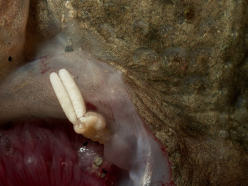 Acanthochondria cornuta on flounder