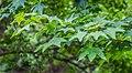Acer cappadocicum in Hackfalls Arboretum (3).jpg