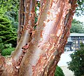 Acer griseum or Paperbark Maple, Colzium Lennox, Kilsyth, North Lanarkshire.jpg